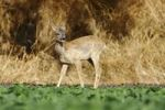 Thumbnail European Roe Deer (Capreolus capreolus), young at the edge of a cabbage field
