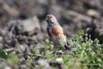 Thumbnail Linnet (Carduelis cannabina), male, standing on garden soil seeking food