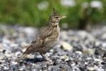 Thumbnail Crested Lark (Galerida cristata), adult sitting on the street