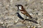 Thumbnail House sparrow (Passer domesticus), male sitting on rocky ground