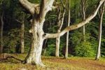 Thumbnail Beech forest in the Jasmund National Park, Jasmund peninsula, Ruegen Island, Mecklenburg-Western Pomerania, Germany, Europe