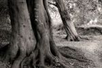 Thumbnail Old beech trees, black and white, Dornbusch Forest, Hiddensee, Mecklenburg-Western Pomerania, Germany, Europe