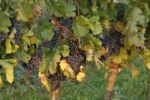 Thumbnail Vines with ripe red grapes, Burgenland, Austria, Europe
