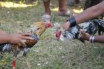 Thumbnail Cockfighting in Bali, Indonesia, Southeast Asia