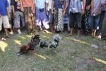 Thumbnail Cockfighting in Bali, Indonesia, Southeast Asia