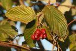 Thumbnail Whitebeam (Sorbus aria)