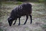 Thumbnail Heidschnucke moorland sheep, Westruper Heide, Heathland Westrup, Haltern, North Rhine-Westphalia, Germany, Europe