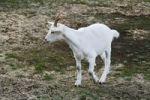 Thumbnail Domestic Goat (Capra hircus aegagrus), white German premium goat, juvenile, Westruper Heide, Heathland Westrup, Haltern, North Rhine-Westphalia, Germany, Europe