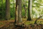 Thumbnail Century-old trees in the Naturschutzgebiet Insel Vilm nature reserve in the Biosphaerenreservat Suedost-Ruegen Biosphere Reserve South-East Ruegen, Ruegen Island, Mecklenburg-Western Pomerania, Ge