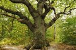 Thumbnail Century-old oak (Quercus) in the Naturschutzgebiet Insel Vilm nature reserve in the Biosphaerenreservat Suedost-Ruegen Biosphere Reserve South-East Ruegen, Ruegen Island, Mecklenburg-Western Pomer