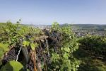 Thumbnail Thickly growing black grapes on the vine with a view of Ahrweiler, Bad Neuenahr-Ahrweiler, Rhineland-Palatinate, Germany, Europe