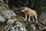 Thumbnail Wolf (Canis lupus) standing on a branch