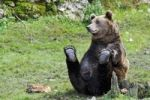 Thumbnail Brown Bear (Ursus arctos), sitting