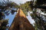 Thumbnail Giant Sequoia, Sierra Redwood or Wellingtonia (Sequoiadendron giganteum), Sequoia National Park, California, USA