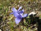 Thumbnail Fringed Gentian, Common Gentianella (Gentiana ciliata), Carinthia, Austria, Europe