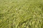 Thumbnail Barley field, Kamen, Ruhr area, North Rhine-Westphalia, Germany, Europe