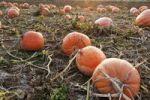 Thumbnail Orange pumpkins in a pumpkin field in the evening light, Lower Bavaria, Germany, Europe
