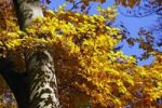 Thumbnail Common beech, european beech (Fagus sylvatica) in a beech grove, leaves in autumn colours