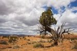 Thumbnail Utah juniper (Juniperus osteosperma), Kodachrome Basin State Park, Utah, America, United States