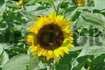 Thumbnail sunflower Helianthus annuus