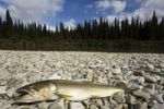 Thumbnail Bull Trout, Char (Salvelinus confluentus), fishermen's catch, gravel bar, upper Liard River, Yukon Territory, Canada