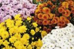 Thumbnail Chrysanthemums (Chrysanthemum), different colors