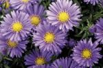 Thumbnail Fall asters (Aster)