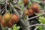 Thumbnail Rambutan (Nephelium lappaceum), Central Java, Indonesia, Southeast Asia