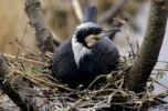 Thumbnail Cormorant (Phalacrocorax carbo) in breeding plumage on the nest, Naardermeer, Holland, The Netherlands, Europe