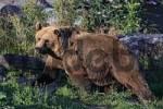 Thumbnail Caucasian Brown Bear Ursus arctos middendorffi