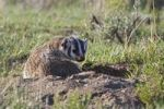 Thumbnail American Badger (Taxidea taxus), Yellowstone National Park, Wyoming, Idaho, Montana, America, United States