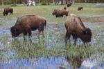 Thumbnail American Bison or American Buffalo herd (Bison bison), Yellowstone National Park, Wyoming, Idaho, Montana, America, United States