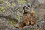 Thumbnail Groundhog, Woodchuck, Whistle-pig, Land-beaver (Marmota monax), Yellowstone National Park, Wyoming, Idaho, Montana, America, United States