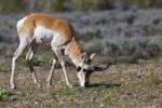Thumbnail Pronghorn, Prong Buck or Pronghorn Antelope (Antilocapra americana), Grand Teton National Park, Wyoming, America, United States