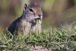 Thumbnail Uinta ground squirrel (Spermophilus armatus), Grand Teton National Park, Wyoming, America, United States