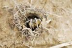 Thumbnail Tarantula or tarantula wolf spider (Lycosa tarantula) looking out of burrow
