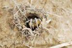 Thumbnail Tarantula or tarantula wolf spider (Lycosa tarantula) looking out of burrow