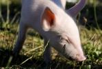 Thumbnail Young domestic pig (Sus scrofa domestica) happily sniffing at grass