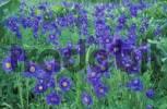 Thumbnail Siberian Columbine / Aquilegia glandulosa. Altai-Sayan region, sibalpine meadows