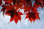 Thumbnail Downy Japanese Maple or Fullmoon Maple (Acer japonicum) with red autumn colouring against a blue sky