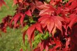 Thumbnail Downy Japanese Maple or Fullmoon Maple (Acer japonicum) with red autumn colouring