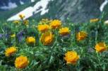 Thumbnail Asian Globe flowers Trollius asiaticus. Altai-Sayan region, subalpine meadows of Siberia