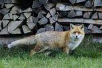 Thumbnail Red fox (Vulpes vulpes)