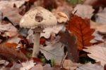 Thumbnail Shaggy parasol (Macrolepiota rhacodes), edible mushroom