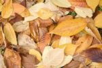 Thumbnail Autumn leaves