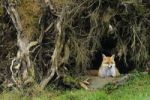 Thumbnail Red fox (Vulpes vulpes) looking out of its den