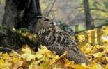 Thumbnail Eagle-owl Bubo bubo interpositus. Caucasus, Russia