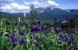 Thumbnail Altai-Sayan region, subalpine meadows of Siberia. Aquilegia glandulosa
