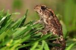 Thumbnail Young Common Toad (Bufo bufo)