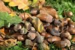 Thumbnail Fall forest floor: Acorns and oak leaves Quercus robur